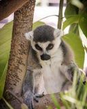 Madagascar lemur, looks hungover, green foliage jungle behind seated animal Royalty Free Stock Photos