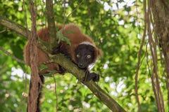 Madagascar lemur monkey portrait on a tree Stock Images