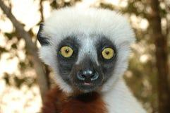 Sifaka. Madagascar lemur sifaka Propithecus vereauxi stock image