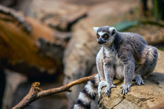 Madagascar lemur. In the wild Royalty Free Stock Photos