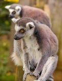 Madagascar lemurs Royalty Free Stock Photo