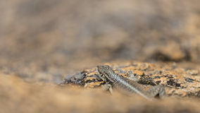 Madagascar lizard close up portrait cmaouflaged on a rock Royalty Free Stock Images