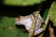 Madagascar Ljus-synade grodan eller Madagascan Treefrog (den Boophis madaen Royaltyfria Foton