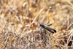 Madagascar locust Royalty Free Stock Image