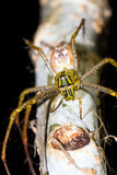 Madagascar Lynx Spider Royalty Free Stock Photos