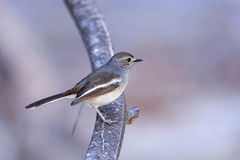 Madagascar magpie robin, ifaty Stock Photography