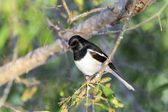Madagascar magpie robin, ifaty Royalty Free Stock Photography