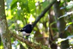 Madagascar magpie robin, madagascar Royalty Free Stock Image