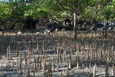 Madagascar mangrove Stock Images