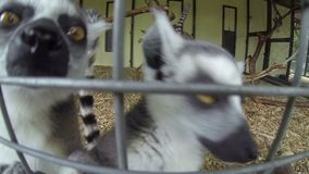Madagascar Mongoose Ring-tailed Lemurs Lemur catta. Group of Madagascar Mongoose Ring-tailed Lemurs Lemur catta crawling on the cage fence and looking in the stock footage