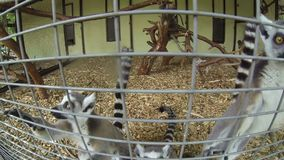 Madagascar Mongoose Ring-tailed Lemurs Lemur catta. Group of Madagascar Mongoose Ring-tailed Lemurs Lemur catta crawling on the cage fence and looking in the stock video footage
