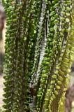 Madagascar ocotillo Royaltyfria Bilder