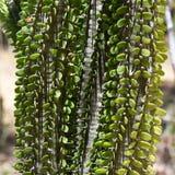 Madagascar ocotillo Royaltyfria Foton