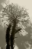 Madagascar Ocotillo flowers in black and white. Alluaudia procera, or Madagascar ocotillo, is a deciduous succulent plant species of the family Didiereaceae stock photography