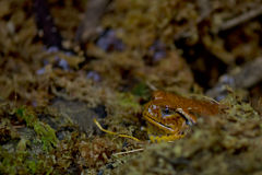 Madagascar orange frog Royalty Free Stock Image
