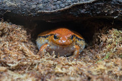 Madagascar orange and red endemic frog portrait Stock Photography