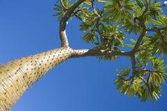 madagascar palmträd Arkivfoto