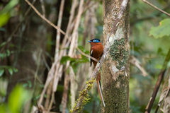 Madagascar Paradis-flugsnappare, Terpsiphone mutata Royaltyfria Bilder