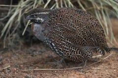Madagascar partridge Stock Image