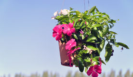 Madagascar periwinkle with blue sky Stock Images