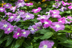 Madagascar Periwinkle Stock Images