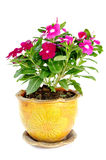 Madagascar periwinkle Catharanthus roseus Flowers Stock Images