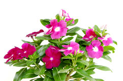 Madagascar periwinkle Catharanthus roseus Flowers Stock Photo