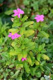 Madagascar periwinkle or Catharanthus roseus plant growing in local garden with multiple bright pink flowers surrounded with light royalty free stock photos