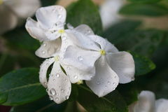 Madagascar periwinkle Stock Photography