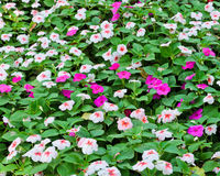 Madagascar periwinkle flower bed Stock Photography