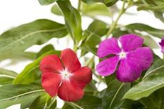 Madagascar periwinkle flowers Stock Image