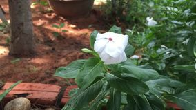 Madagascar periwinkle flowers. Madagascar periwinkle (Catharanthus roseus) flowers at the garden in Vietnam stock video footage