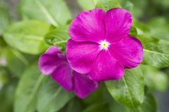 Madagascar periwinkle flowers Stock Images
