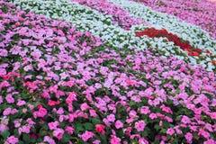 Madagascar periwinkle flowers Stock Photos