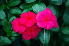 Madagascar Periwinkle Flowers In The Garden Stock Images