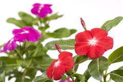 Madagascar periwinkle flowers. Vivid pink madagascar periwinkle flowers in front of pink flowers Royalty Free Stock Photography