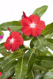 Madagascar periwinkle flowers Royalty Free Stock Image