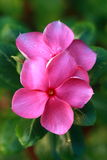Madagascar periwinkle Royalty Free Stock Photo