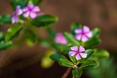 Madagascar periwinkle Stock Photos