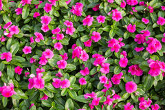 Madagascar or Periwinkle or Vinca flower Stock Image