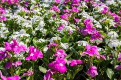 Madagascar periwinkle. Vinca,Old maid, Cayenne jasmine, Rose periwinkle, Catharanthus roseus G. Don Royalty Free Stock Photography