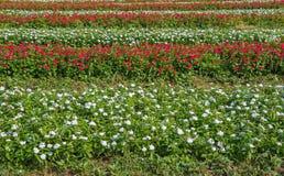 Madagascar periwinkle or Watercress flower in beautiful garden Royalty Free Stock Image