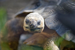 Madagascar Radiated Tortoise Head Stock Photos