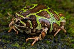 Madagascar rain frog Royalty Free Stock Images