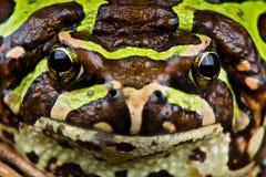 Madagascar rain frog Royalty Free Stock Image