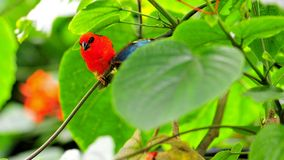 Madagascar red fody bird with Morpho butterfly Royalty Free Stock Images