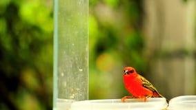 Madagascar red fody bird Royalty Free Stock Image