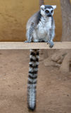 Madagascar ring-tailed lemur Royalty Free Stock Photos