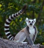 Madagascar. Ring tailed lemur (Lemur Catta) in a forest. Madagascar Stock Photos
