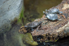Madagascar river turtle close up Stock Photos